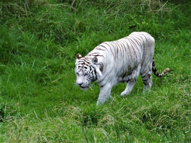 tigre y temaiken