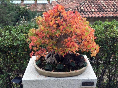 bonsai+jardin+madrid