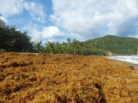 playa+algas+valle+republica+dominicana